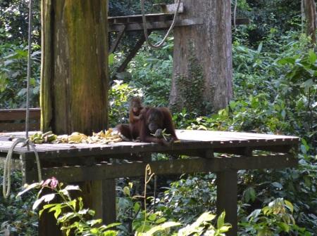 Orangutans and sun bears - our 1st taste of Borneo's wildlife ::: Orangutani a medvede malajske - nasa prva ochutnavka divociny Bornea