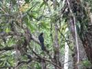 White hornbill