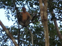 Male proboscis monkey