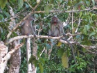 Long-tailed macaques