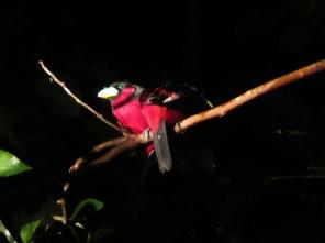 Red sleeping birds